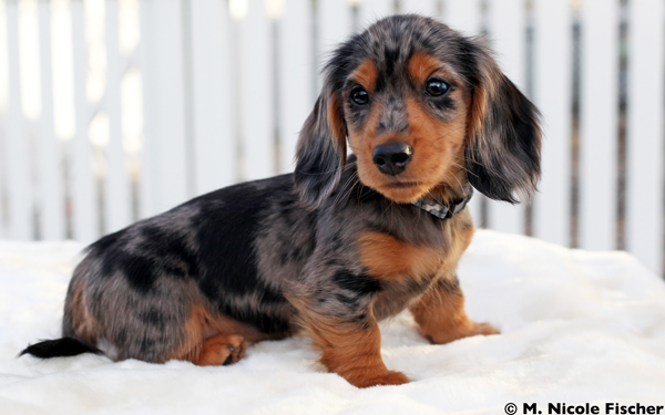 Puppies Harlequin Dachshunds