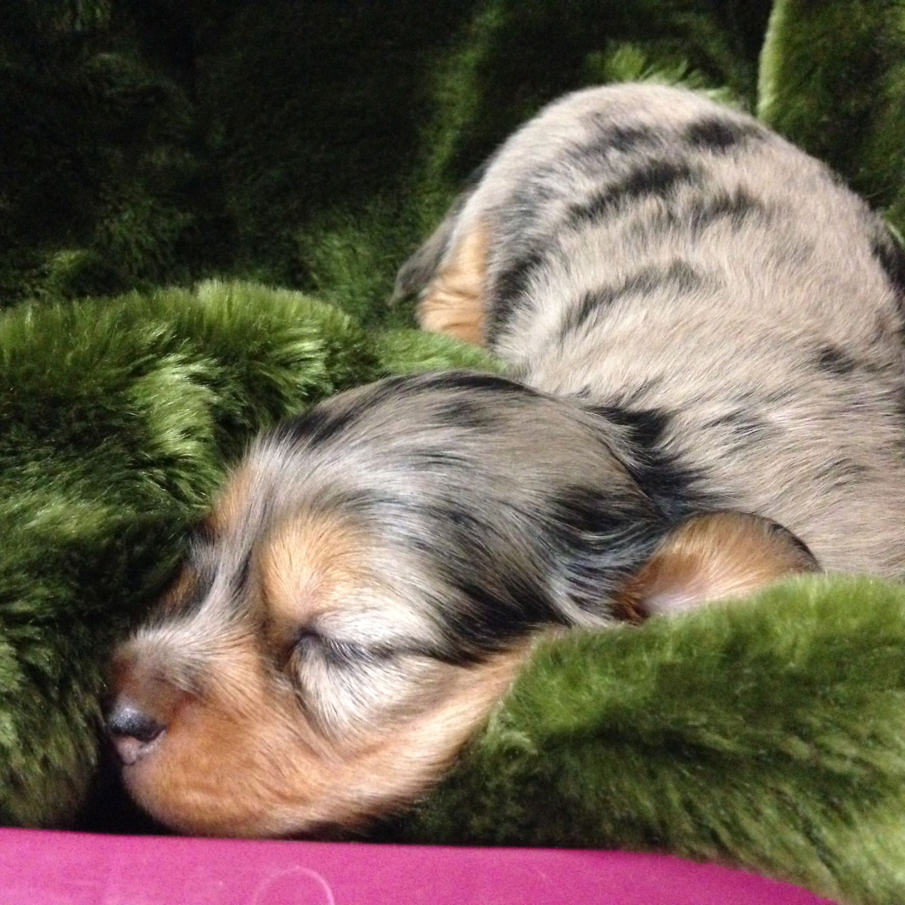Puppy - sleeping dapple girl (Emerald x Blue)