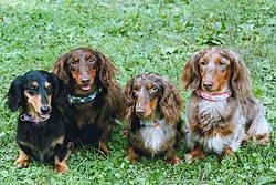 four dachshunds