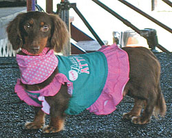 about Harlequin Dachshunds