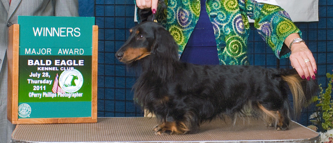 colby conformation dachshund