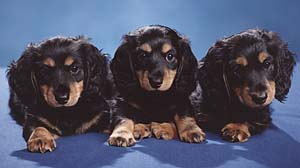 harleys puppies