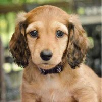 Miniature Longhaired dachshund RED