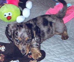 Harlequin Dachshunds | Miniature Longhaired Dachshunds