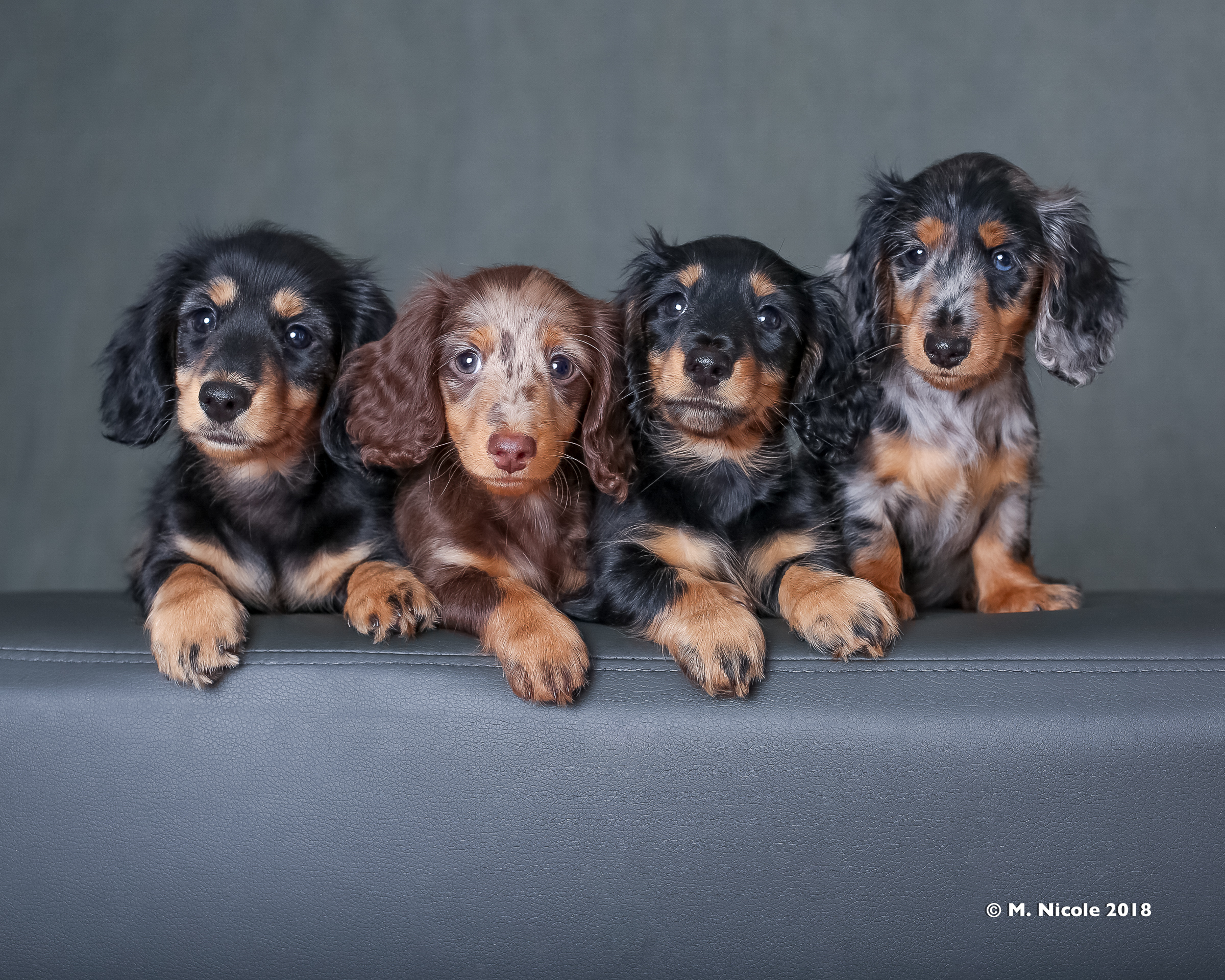 Purchase Blue Merle Dachshund Long Hair Up To 76 Off